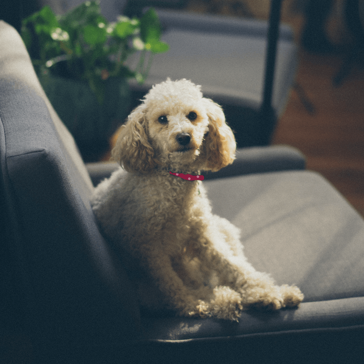 Critter Gear - Dog sitting on couch